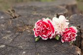 stock photo of carnations  - Postcard with fresh flowers carnations on aged wooden background - JPG