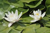 White Water-lilies