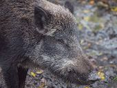 stock photo of boar  - Adult wild boar looking sideways into the camera - JPG