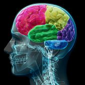 stock photo of cerebrum  - Colored sections of a male human brain  - JPG