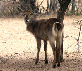 stock photo of bosveld  - Alert Waterbuck Looking Backwards Listening Carefully to Every Sound - JPG