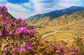 Rhododendron blooming in siberian mountains. Altai mountains