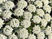 Background Of White Flowers Inflorescences