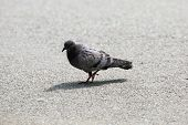 Juvenile Feral Pigeon