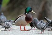 pic of male mallard  - tame male mallard duck amongst pigeons on alley in the park - JPG
