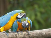Pair of Macaw birds
