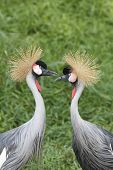 Pair of Crowned Cranes courting
