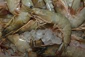 pic of tiger prawn  - Fresh Shrimps Prawns on ice - JPG