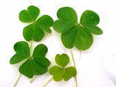 Clover Leaves Good Luck