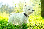 stock photo of westie  - a single white dog on the grass - JPG