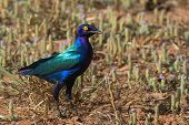 A Purple Glossy Starling (lamprotornis Purpureus) Standing In A Dry Field With Purple Flowers