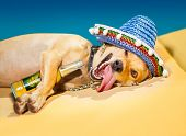 picture of crazy hat  - drunk chihuahua dog having a siesta with crazy and funny silly face - JPG