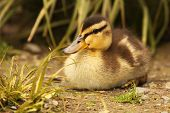 Baby Grey Duck Resting