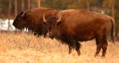 Bison Pair Feeding