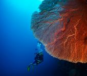 image of bottomless  - Diver in the depth near the huge red coral - JPG