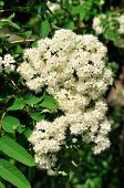 Sorbus.Mountain ash bloom in May.