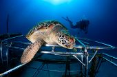 Turtle Resting On An Artificial Reef.