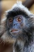 stock photo of gremlins  - Close up of a Silver Leaf Monkey in Borneo