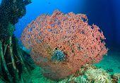 Pink hard corals underwater