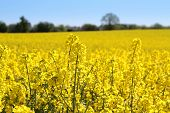Canola fields or Rapeseed plant.