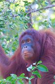 Portrait female Orangutan in tree