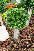 Ficusannulata Blume