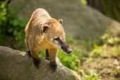 pic of coatimundi  - White - JPG