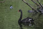 The Red Bill Black Swan On The Water