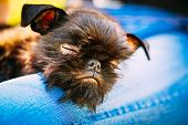 image of lap  - Close Up Black Dog Griffon Bruxellois  - JPG