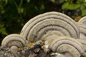 stock photo of bracket-fungus  - This beautiful bracket fungus destroys the tree - JPG