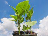 Plug Aubergine Plant