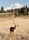 Beautiful Engaged Wildlife Male Buck Elk Antlers Horns Mount Rainier