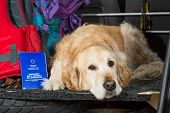 stock photo of hump  - Golden Retriever in the boot of the car ready to leave home - JPG