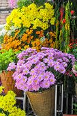 image of chrysanthemum  - Colorful Chrysanthemum on sale  in flower shop.