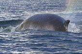 image of mink  - Minke whale back surfaced ocean in the Antarctic Peninsula 