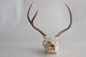 foto of eye-sockets  - Cleaned skull of a young mule deer buck with antlers - JPG