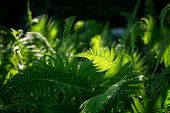 Green Leaves, A Kind Of Ferns