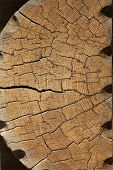 Cracked log texture. Pine tree