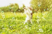 Kitten Playing With Soap Bubbles At Sunny Day
