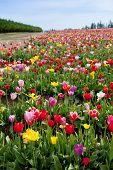 Mountain Valley Tulip Field