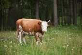 The Cow Near The Forest