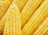 Yellow corn background