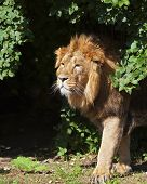 picture of dread head  - Side portrait of a young Asian lion in sunny day - JPG