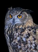 A screech owl very beautiful wild animal. Stare of a long-eared owl very skilled raptor.