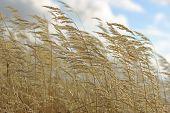 Yellow Autumn Grass On Blue Sky Background