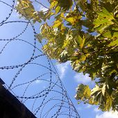 Barbwire and leaves under blue sky