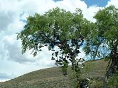 Árvore da sapata