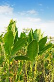 flowering tobacco on the field