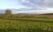 Autumnal view of maize field and vineyard