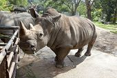 African black rhinoceros in a zoo Khao Kheow in Thailand